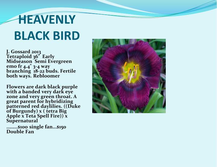 HEAVENLY BLACK BIRD