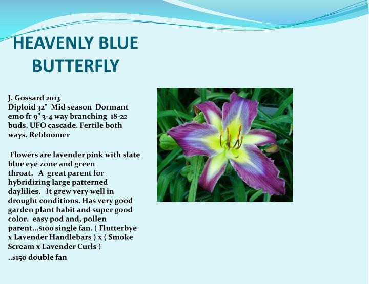 HEAVENLY BLUE BUTTERFLY