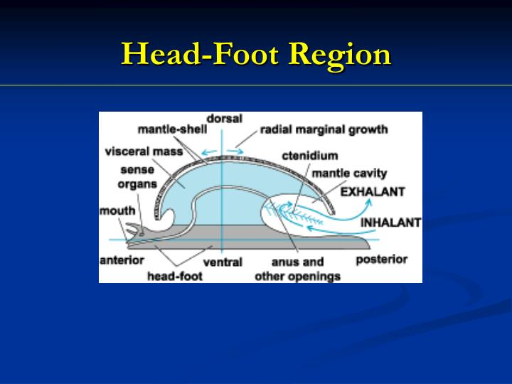 Head-Foot Region