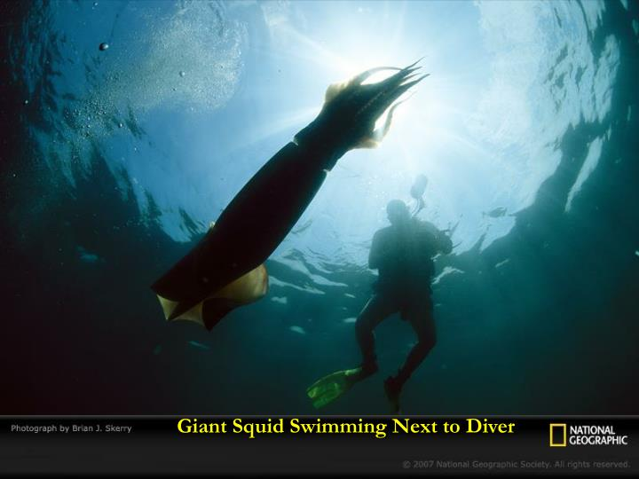 Giant Squid Swimming Next to Diver