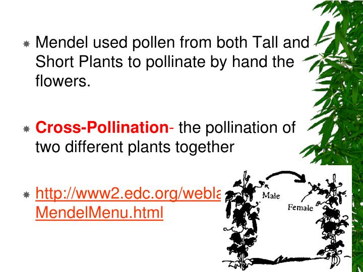 Mendel used pollen from both Tall and Short Plants to pollinate by hand the flowers.