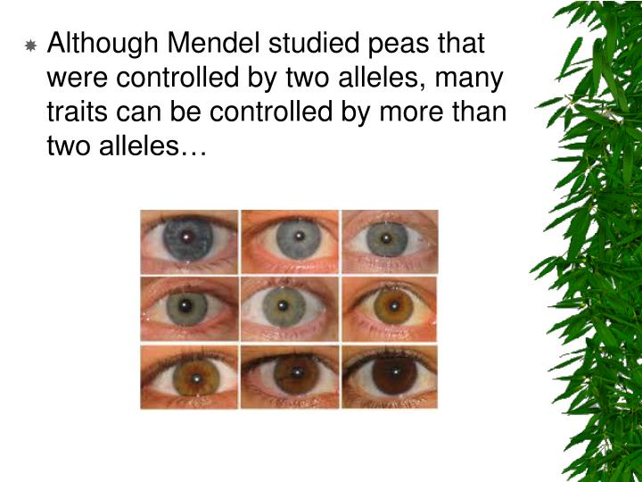 Although Mendel studied peas that were controlled by two alleles, many traits can be controlled by more than two alleles…