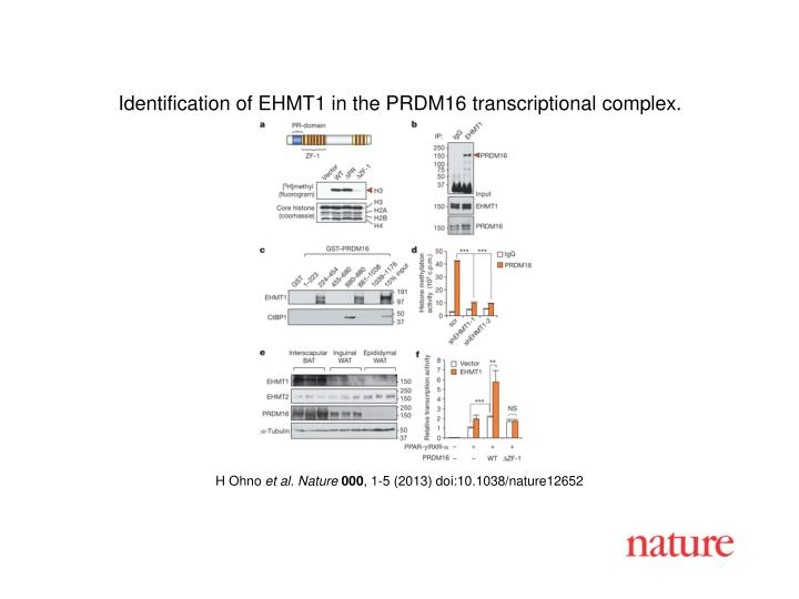 Identification of EHMT1 in the PRDM16 transcriptional complex.