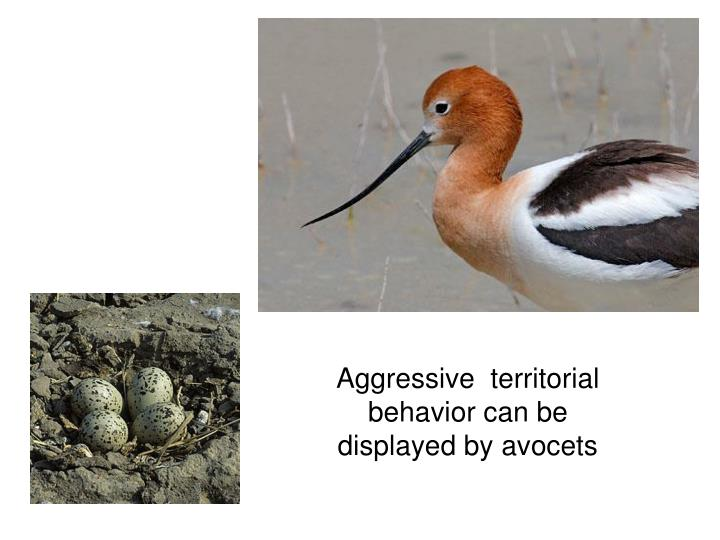 Aggressive  territorial behavior can be displayed by avocets