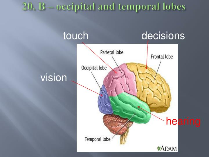 20. B – occipital and temporal lobes