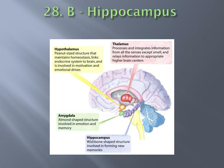 28. B - Hippocampus