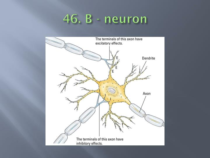 46. B - neuron