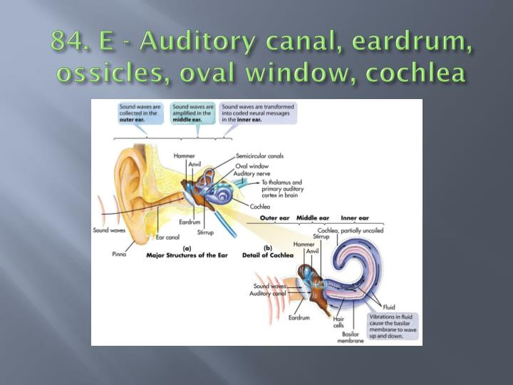 84. E - Auditory canal, eardrum,