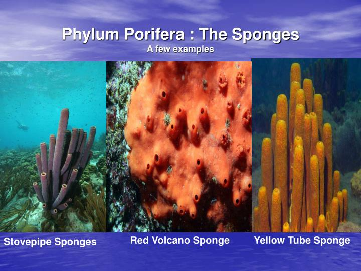 phylum porifera Phylum porifera diversity of sponges because sponges are relatively simple, primitive animals we tend to forget that they are, in fact, a.
