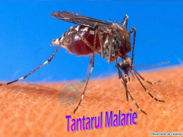Tantarul Malarie