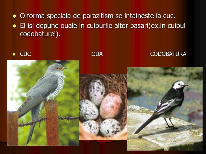 O forma speciala de parazitism se intalneste la cuc.