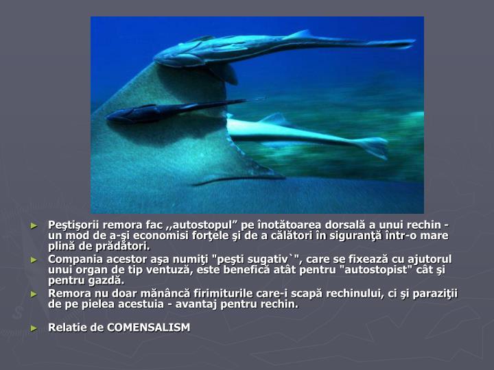 """Peştişorii remora fac ,,autostopul"""" pe înotătoarea dorsală a unui rechin - un mod de a-şi economisi forţele şi de a călători în siguranţă într-o mare plină de prădători."""