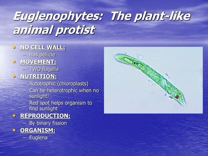 Euglenophytes:  The plant-like animal protist