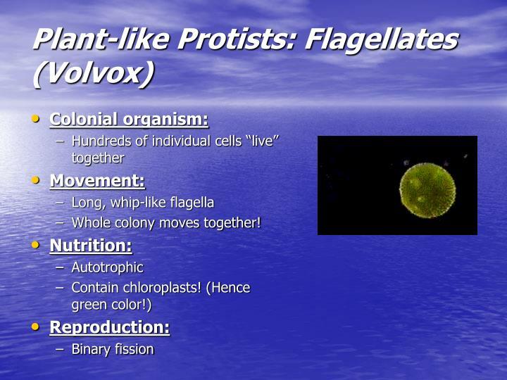 Plant-like Protists: Flagellates (Volvox)