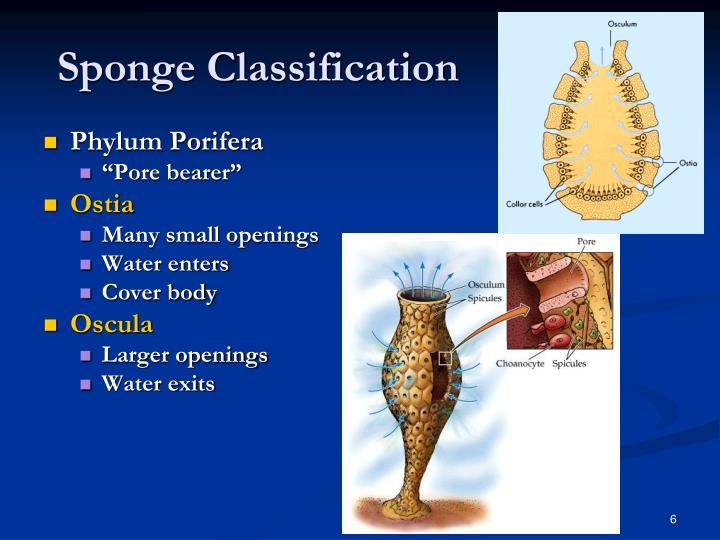 PPT - Simple Invertebrates Sponges, Cnidarians, Flatworms ... Sponge Taxonomy