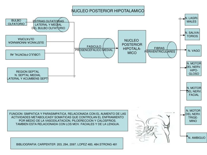 NUCLEO POSTERIOR HIPOTALAMICO
