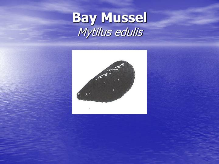Bay Mussel