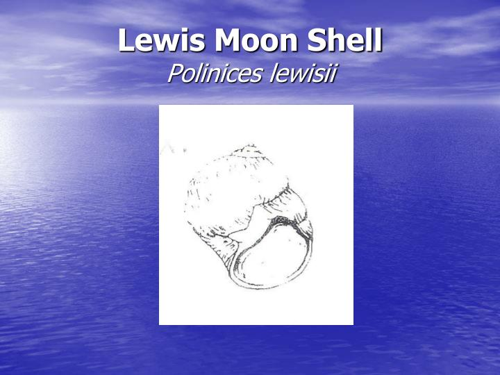 Lewis Moon Shell