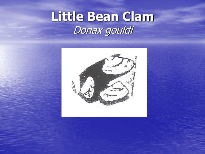 Little Bean Clam