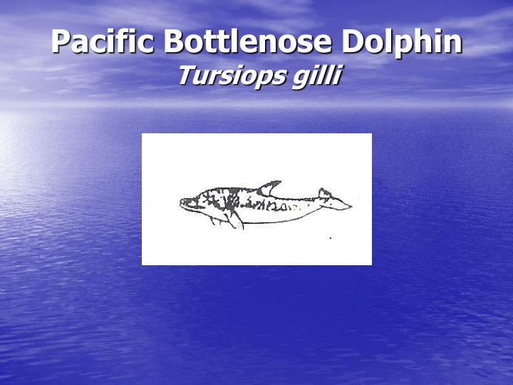 Pacific Bottlenose Dolphin