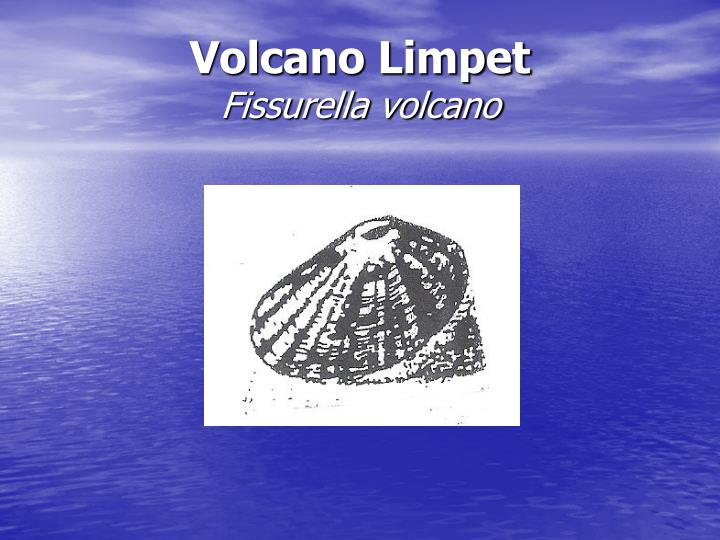 Volcano Limpet