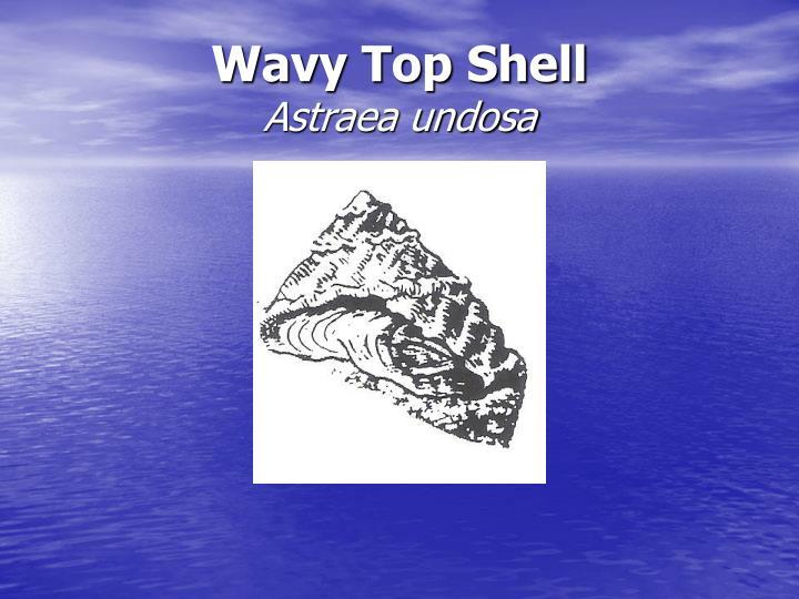 Wavy Top Shell