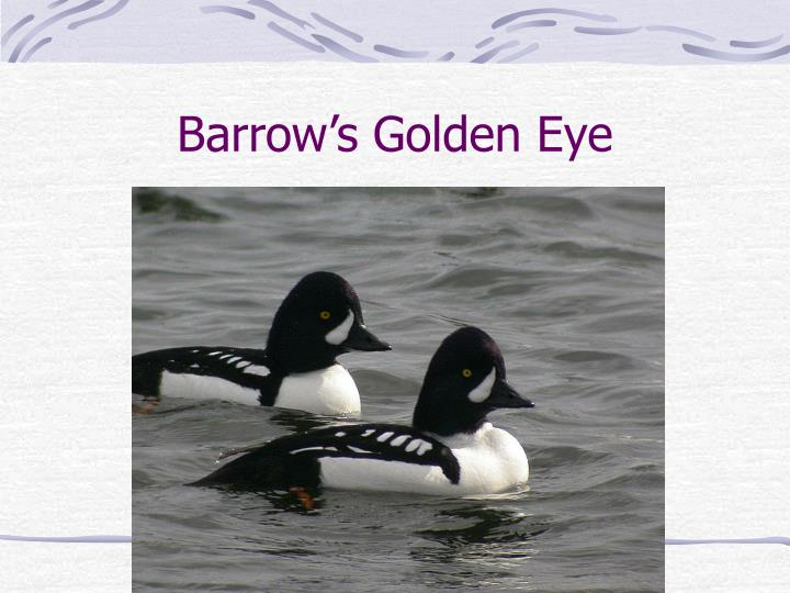 Barrow's Golden Eye