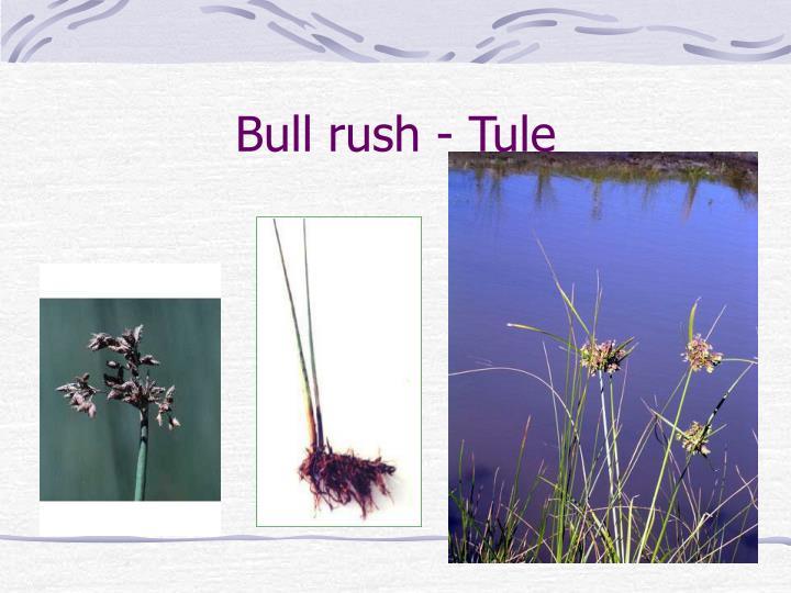 Bull rush - Tule