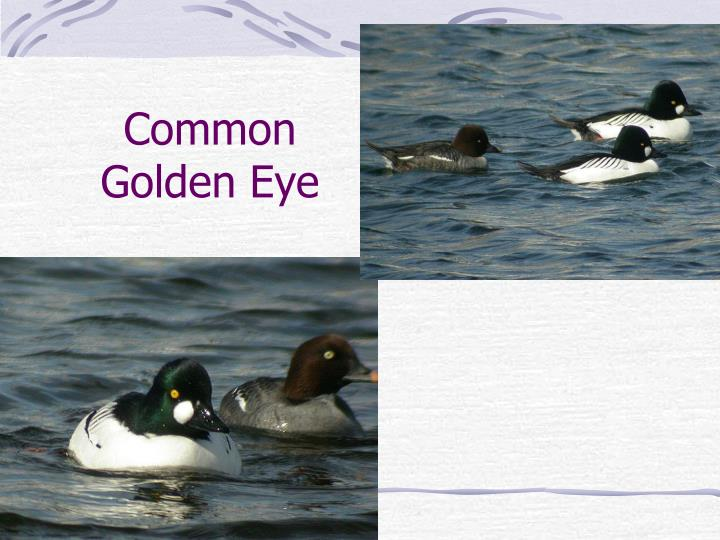 Common Golden Eye