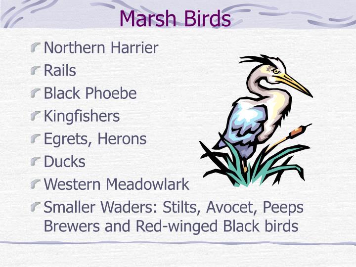 Marsh Birds