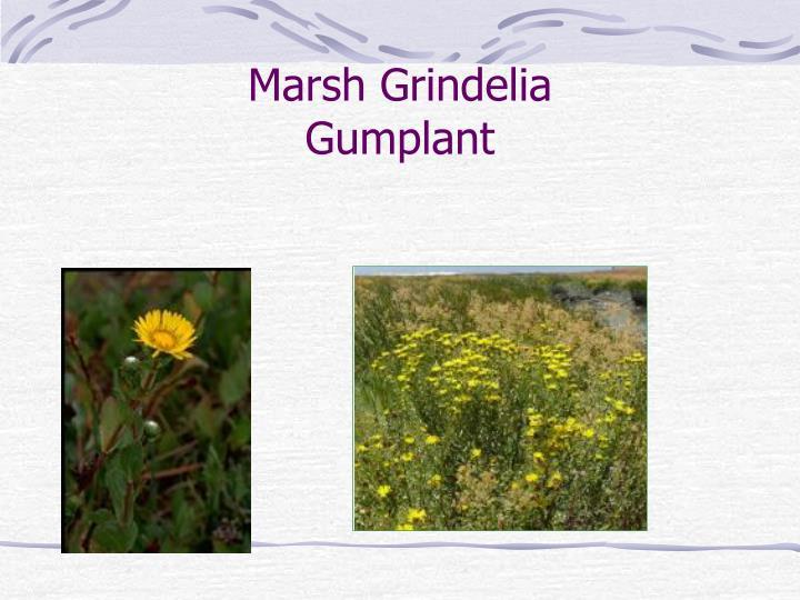 Marsh Grindelia