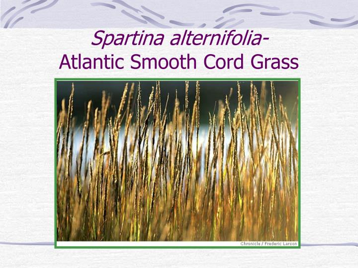 Spartina alternifolia-