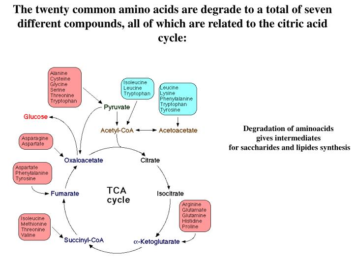 The twenty common amino acids are degrade to a total of seven different compounds, all of which are related to the citric acid cycle: