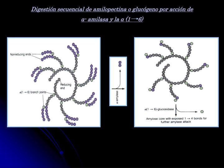 Digestión secuencial de amilopectina o glucógeno por acción de
