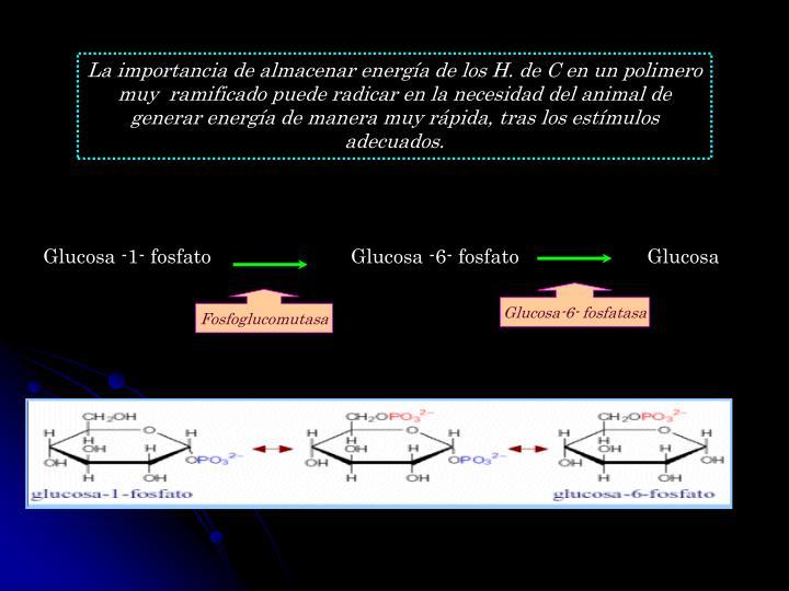 La importancia de almacenar energía de los H. de C en un polimero muy  ramificado puede radicar en la necesidad del animal de generar energía de manera muy rápida, tras los estímulos adecuados.