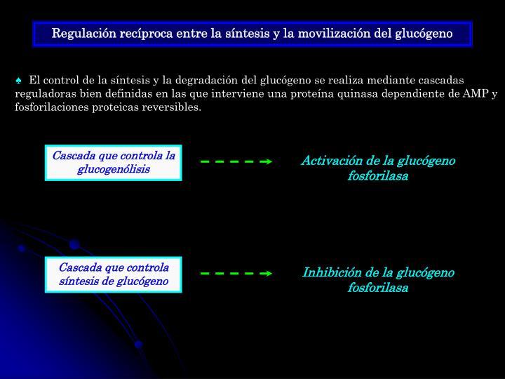 Regulación recíproca entre la síntesis y la movilización del glucógeno