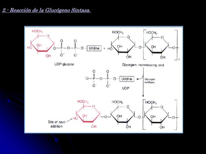 2.- Reacción de la Glucógeno Sintasa.