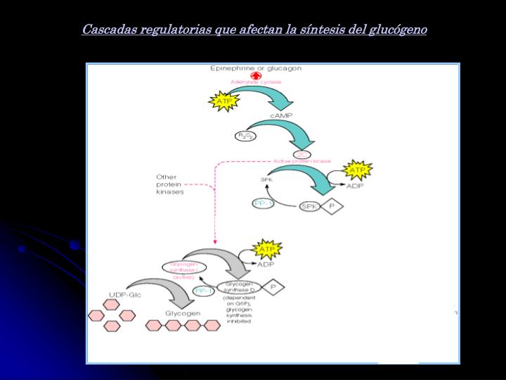 Cascadas regulatorias que afectan la síntesis del glucógeno