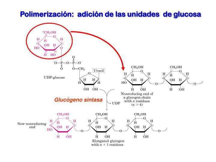 Glucógeno sintasa