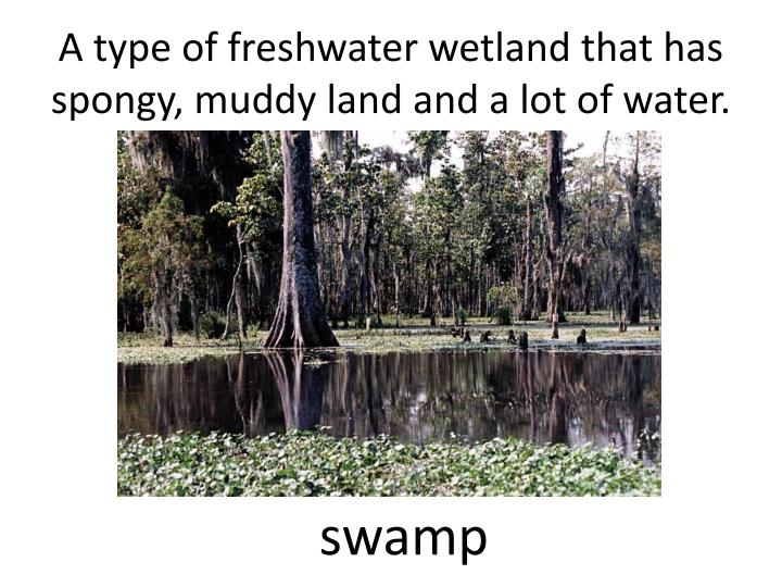 A type of freshwater wetland that has spongy muddy land and a lot of water