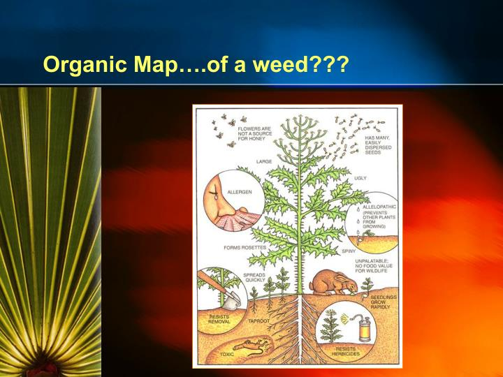 Organic Map….of a weed???