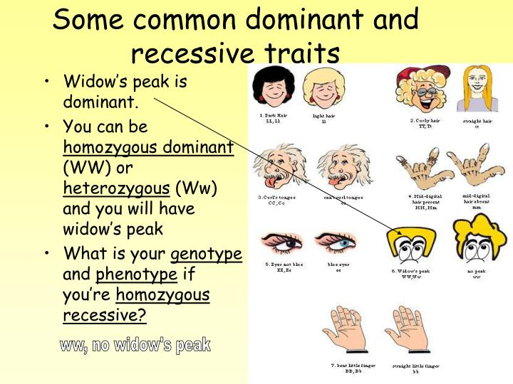 Dominant And Recessive Alleles Chart PPT - Making a Pedigre...