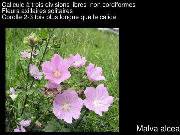Calicule à trois divisions libres  non cordiformes