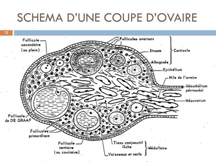 SCHEMA D'UNE COUPE D'OVAIRE
