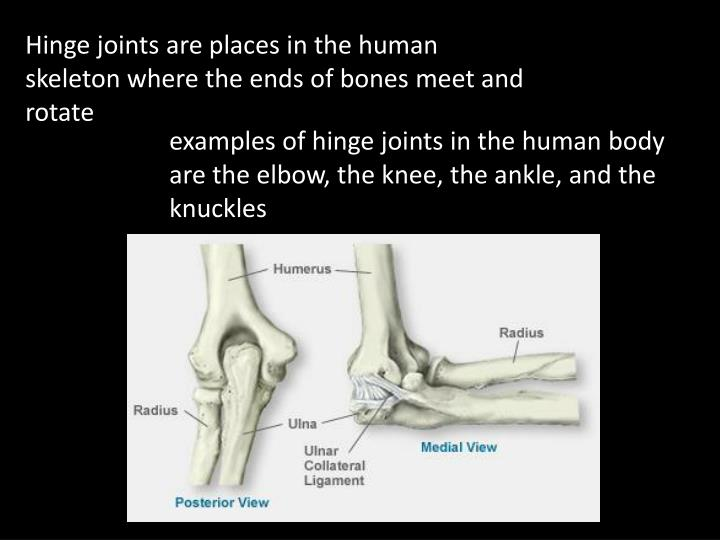 Hinge joints are places in the human skeleton where the ends of bones meet and rotate