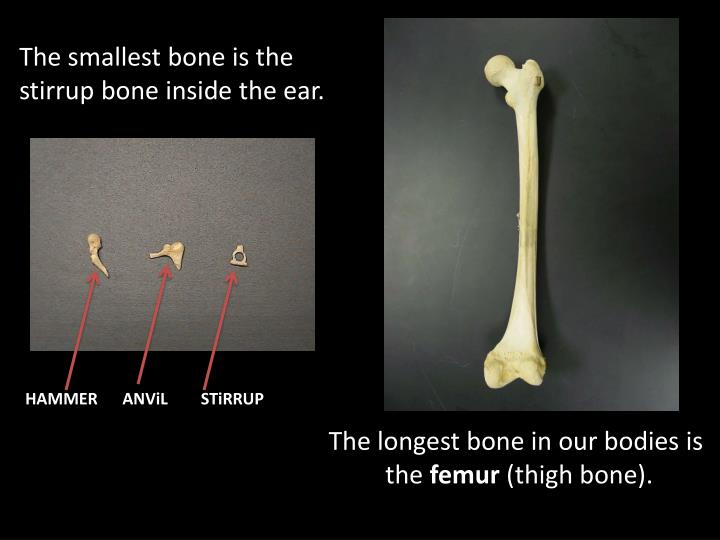 The smallest bone is the stirrup bone inside the ear.