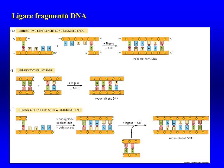 Ligace fragmentů DNA