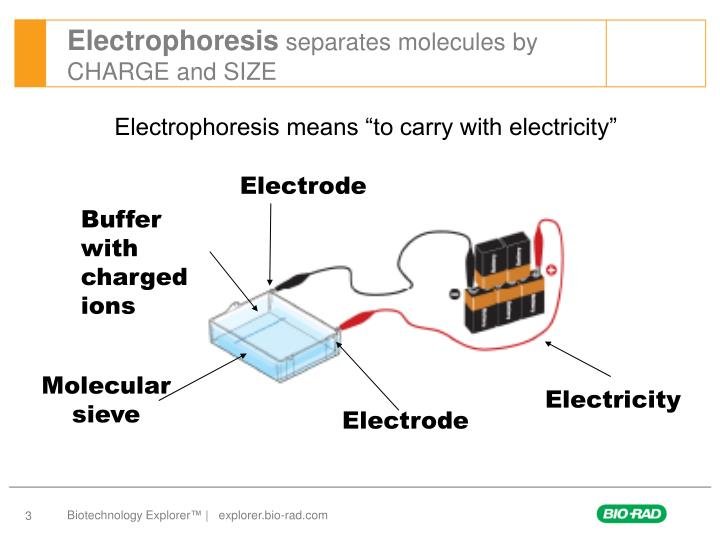 Electrophoresis separates molecules by charge and size