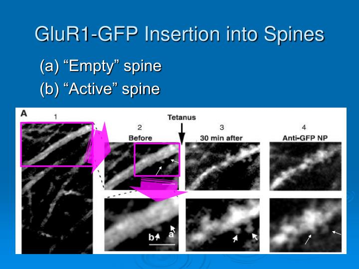 GluR1-GFP Insertion into Spines