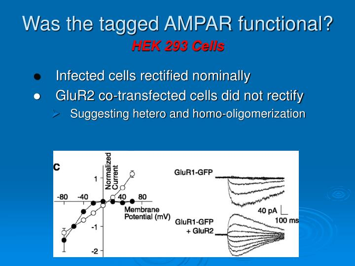 Was the tagged AMPAR functional?